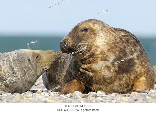 Grey Seals, pair, Helgoland, Schleswig-Holstein, Germany, Halichoerus grypus