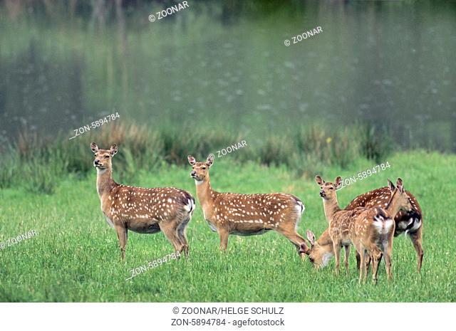 Unterart: Dybowski-Sika - Sikahirsch mit Bastgeweih, Sikatiere und Kalb im Sommerfell - (Sikawild) / Subspecies: Dybowski Sika Deer stag with velvet-covered...
