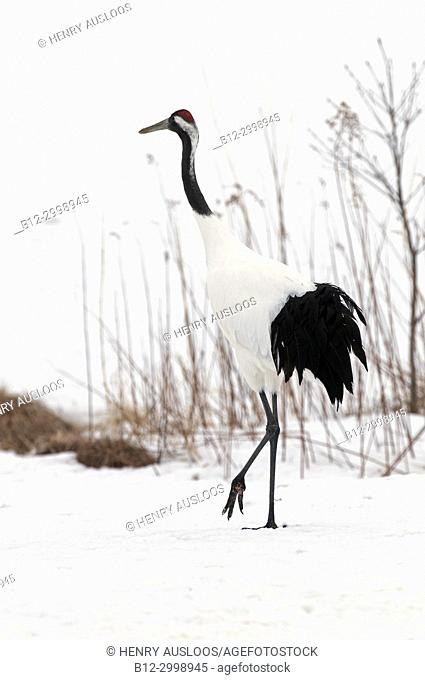Japanese crane, Red-crowned crane (Grus japonensis) , Japan