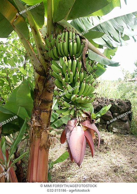 Bananas at Easter Island. Chile