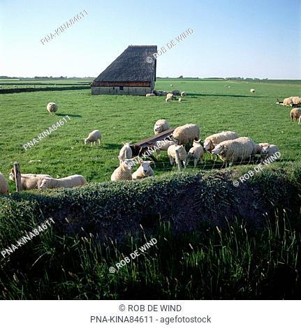 Sheep Ovis domesticus - Texel, De Koog, Wadden islands, North Holland, The Netherlands, Holland, Europe
