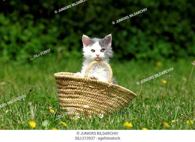 Selkirk Rex. Kitten in a shopping bag on a flowering meadow. Germany