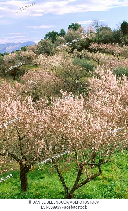 Almond trees in blossom. Laguar Valley. Alicante province, Spain