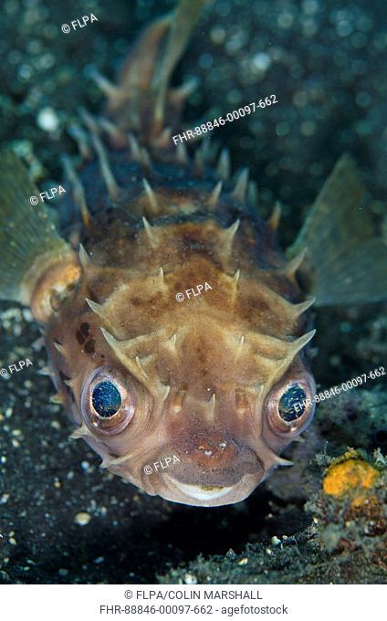 Orbicular Burrfish (Cyclichthys orbicularis), on black sand, TK2 dive site, Lembeh Straits, Sulawesi, Indonesia