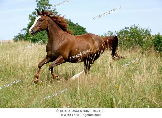 Quarter-Horse crossbreed