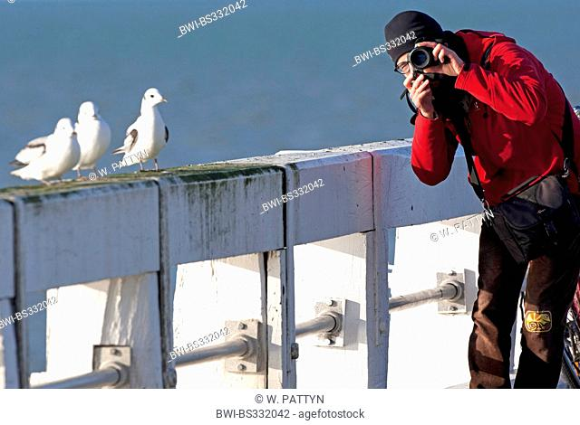 northern fulmar (Fulmarus glacialis), photographer and petrels at the North Sea, Belgium, Nieuwpoort