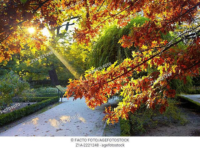 Acer Palmatum with sun beam at the Royal Botanical Garden. Madrid. Spain