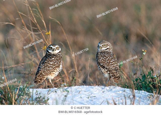 burrowing owl Athene cunicularia, Mrz 98