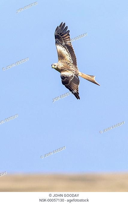 Red Kite (Milvus milvus) in flight, Wales, Powys, Brecon Beacons National Park