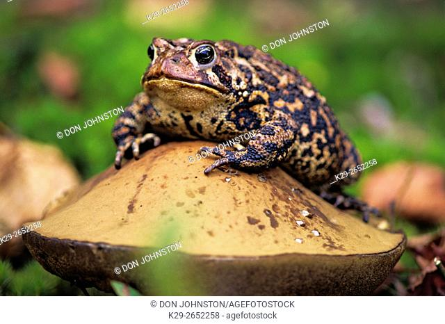 American toad (Bufo americanus), Greater Sudbury (Lively), Ontario, Canada