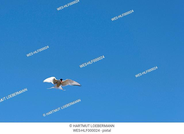 Iceland, Arctic Tern flying