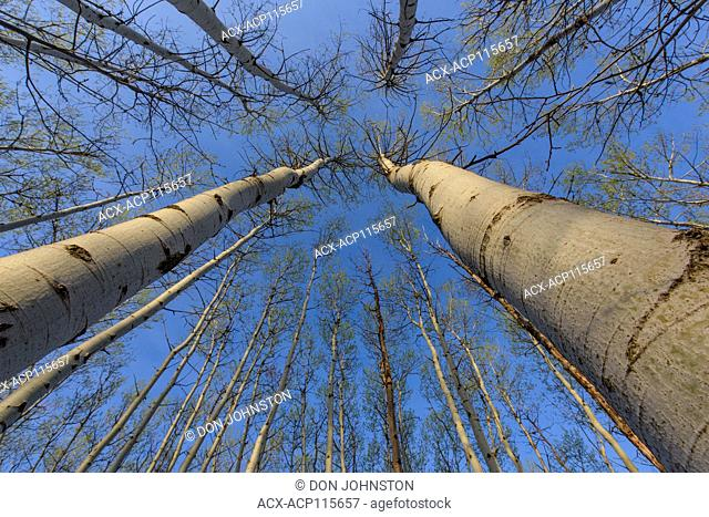 Aspen tree trunks in a woodland with emerging spring foliage, Greater Sudbury, Ontario, Canada