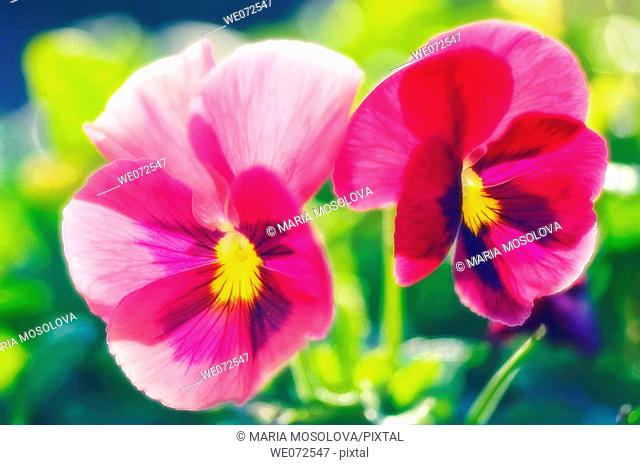 Two Pink Pansy Flowers. Viola x wittrockiana. May 2007, Maryland, USA