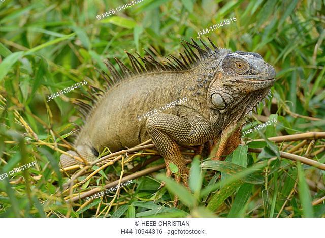 Central America, Costa Rica, Iguana, eye, animal, dragon, wildlife, Alajuela