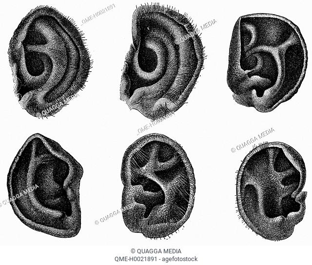 Chimpanzee: Ears