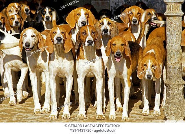 POITEVIN DOG, PACK OF HOUNDS