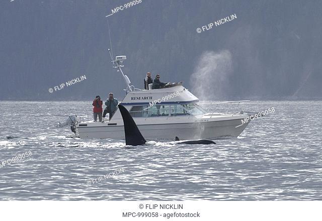 Killer Whale Orcinus Orca, whale watching, Southeast Alaska