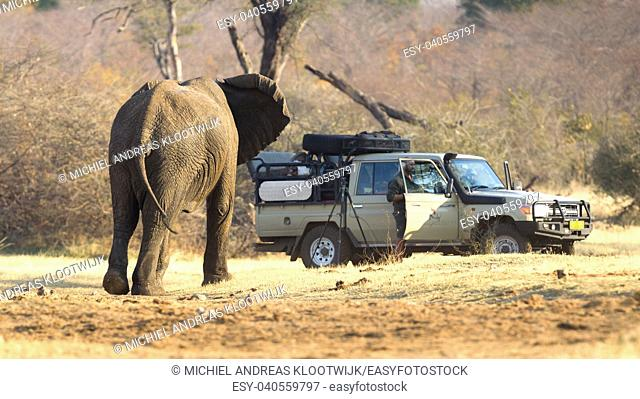 Divundu, Namibia, 13 august 2018 - Professional photographer taking shots of an African Elephant charging the car