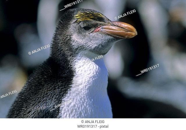 Young Royal Penguin Eudyptes Schlegeli Sandy Bay, Macquarie Island, Subantarctic Australia