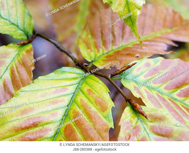 American beech (Fagus grandifolia) leaves. Appalachian foothills, Southeast Ohio. USA