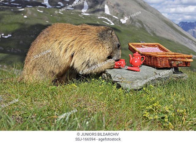 Alpine marmot having a picknick