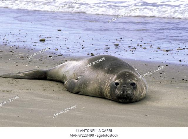 america, argentina, chubut, peninsula valdés, elephant seal
