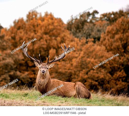 Red deer stag during rutting season Autumn landscape
