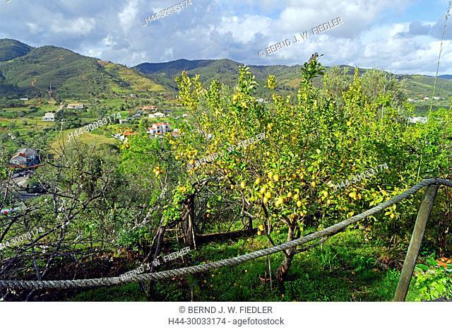 Orangenbäume, Zitronenbäume