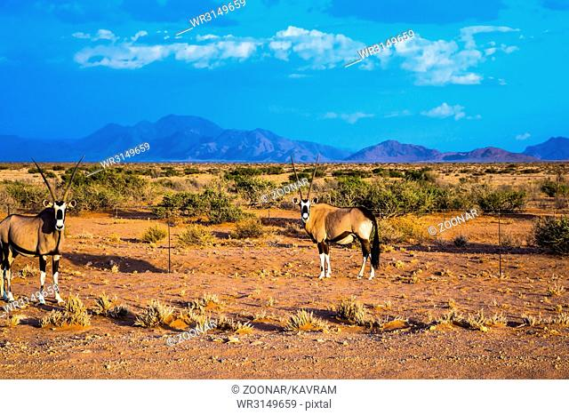 Pair of brightly colored Oryx