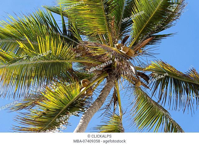 East Africa, Tanzania, Zanzibar, coconut plant on Kiwengwa beach