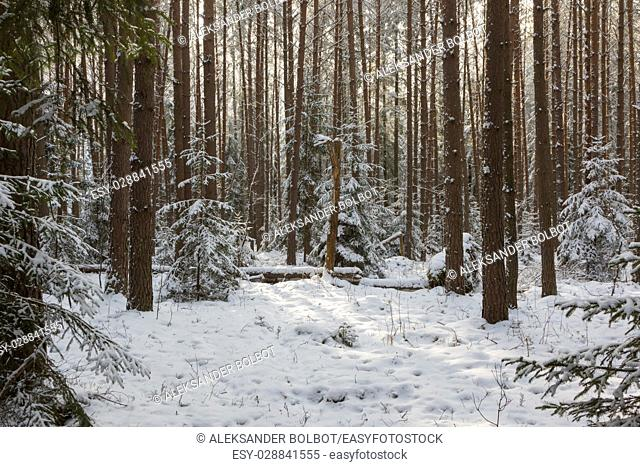 Winter landscape of coniferous forest in sunset light with young pine,Bialowieza Forest,Poland,Europe