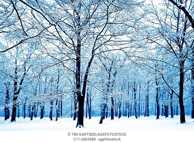 winter trees silhouetted in snow, kent, england uk