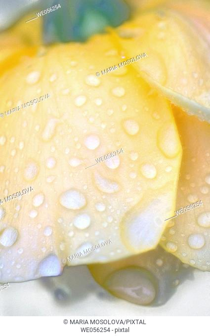 Nodding Pale Yellow Rose Covered with water drops close-up. (Rosa hybrid) 2006. Maryland, USA