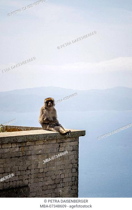Barbary macaque sitting on a parapet, a macaque (macaca) living on the peninsula of Gibraltar on the Rock