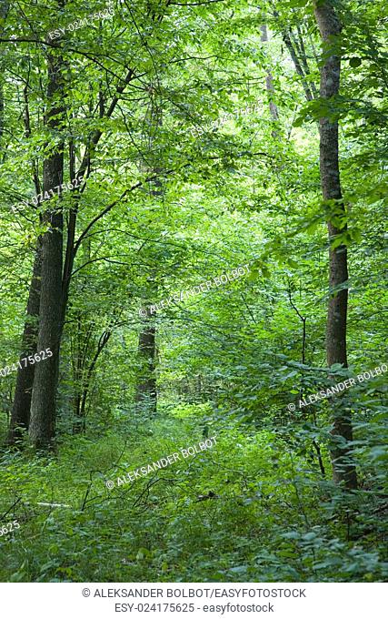 Almost overgrown narrow path under tree canopy in summer,Bialowieza Forest,Poland,Europe