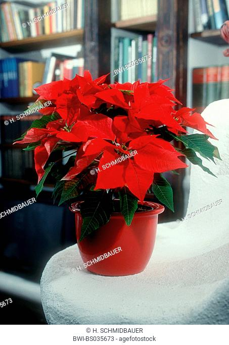 poinsettia (Euphorbia pulcherrima), blooming potted plant