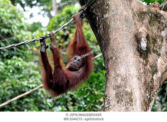 Bornean orangutan (Pongo pygmaeus), adult, female, on a liana, Sepilok Rehabilitation Centre, Sabah, Borneo, Malaysia, Asia