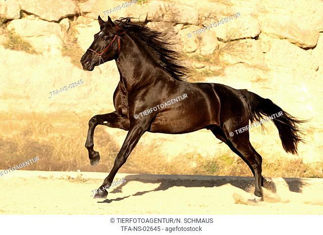 galloping PRE