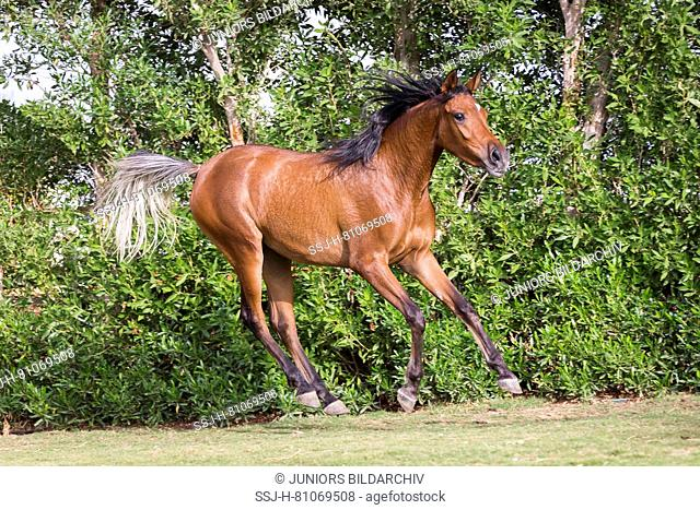 Arabian Horse. Bay juvenile mare galloping on a lawn. Egypt