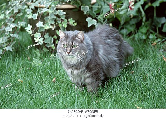 Norwegian Forest Cat blue-silver-tabby-classic