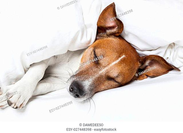 Jack russell terrier sleeping in bed and dreaming