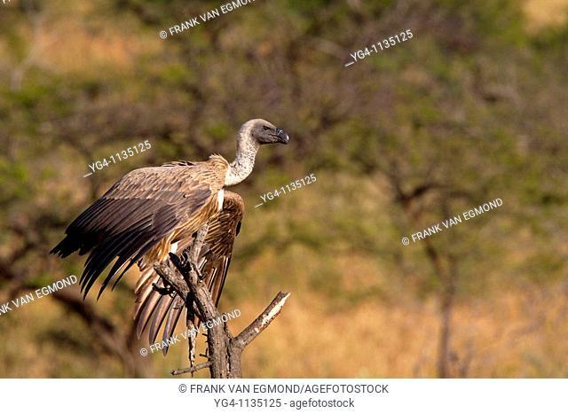 White-backed vulture Gyps Africanus  Winter, May 2009  Hluhluwe-Imfolozi Game Reserve, Kwazulu Natal, South Africa
