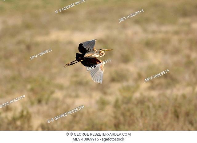 Purple Heron (Ardea purpurea). Spain April