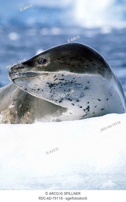 Leopard Seal Antarctic penninsula Hydrurga leptonyx