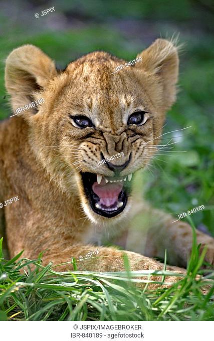 Lion (Panther leo), cub snarling, portrait, Sabi Sand Game Reserve, South Africa