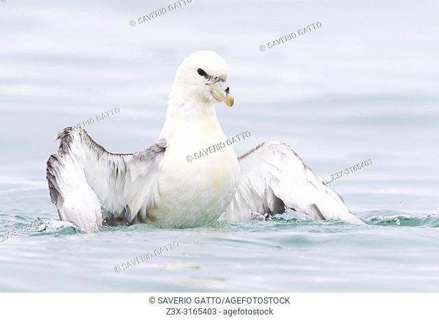 Northern Fulmar (Fulmarus glacialis auduboni), adult taking a bath