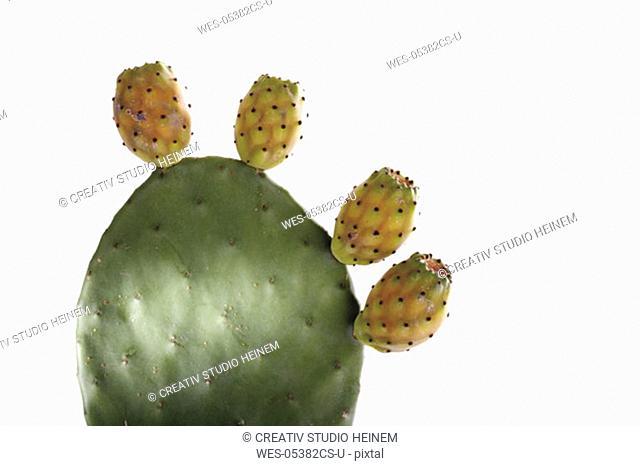 Cactus opuntia ficus-indica, close-up