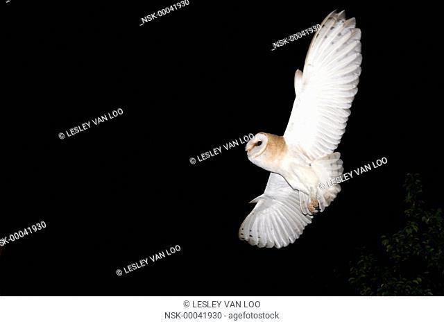 Barn Owl (Tyto alba) in flight at night, France, Auvergne