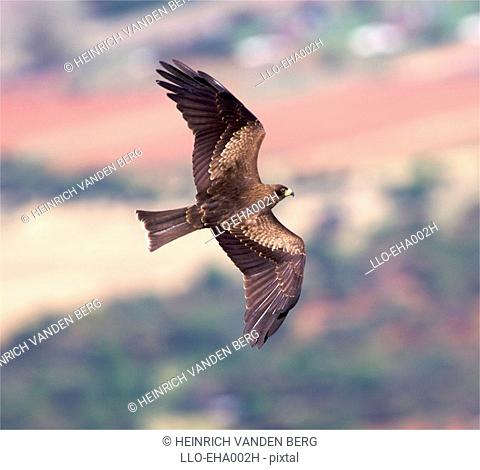 Black Kite Milvus migrans parasitus Flying Through the Air  Magaliesberg, Gauteng Province, South Africa, Africa