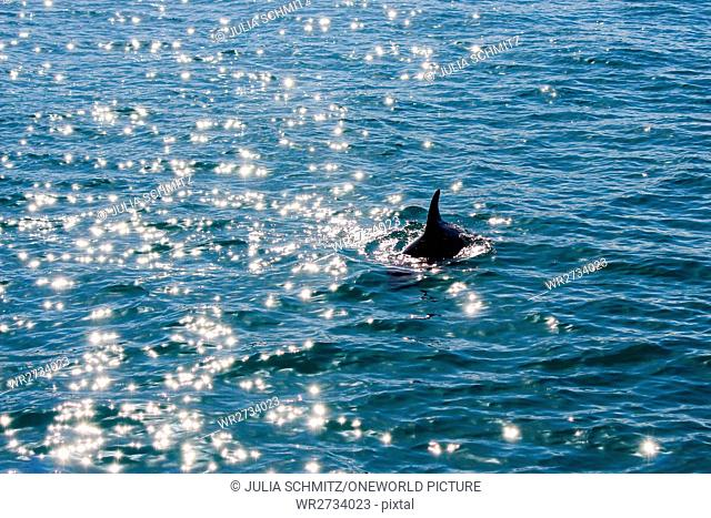 New Zealand, South Island, Canterbury, South Bay, Kaikoura, Dolphin Tour, Dolphin Encounter Tour at Sunrise, Dolphin